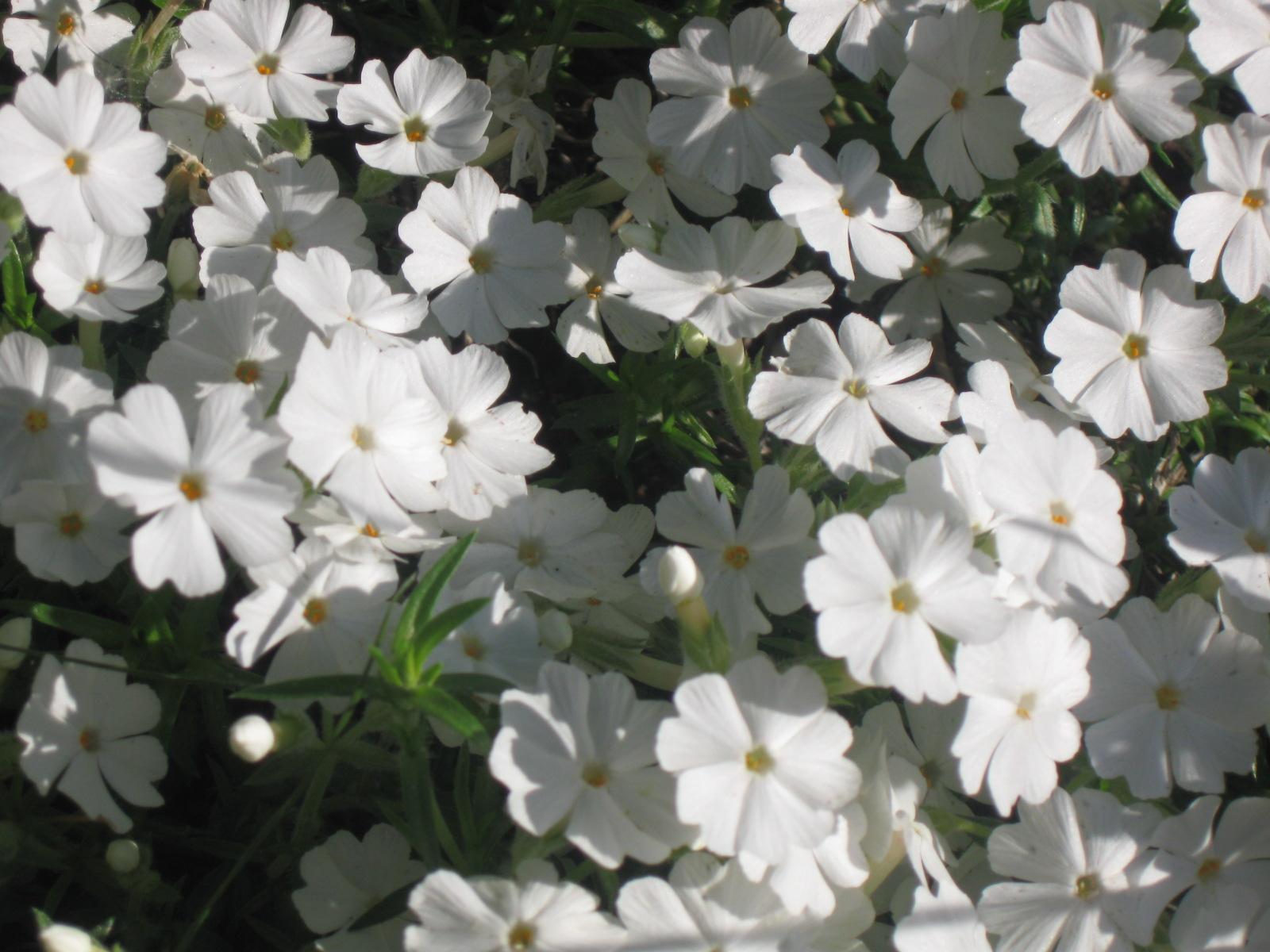 Низкорослые цветы - как выбрать и украсить клумбу низкорослыми цветами
